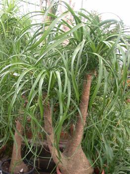 Beaucarnea pied d 39 l phant - Plante verte appelee pied d elephant ...